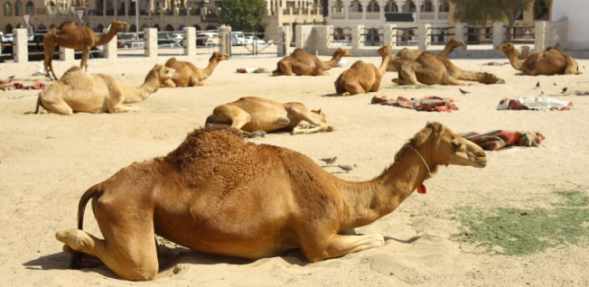 Today, taxis are the main mode of transportation in Doha - camels are just for fun.