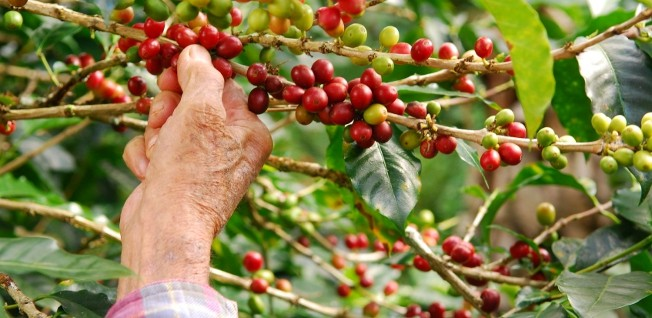 Picking coffee is luckily not the only non-managerial job opportunity available for expats in Panama.