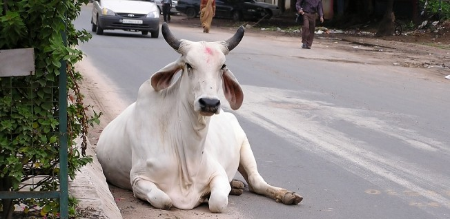 Cows are not an uncommon sight on Indian streets.