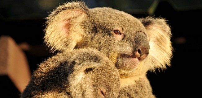 The koalas at Brisbane's Lone Pine Sanctuary are local mascots much beloved by residents and tourists alike.