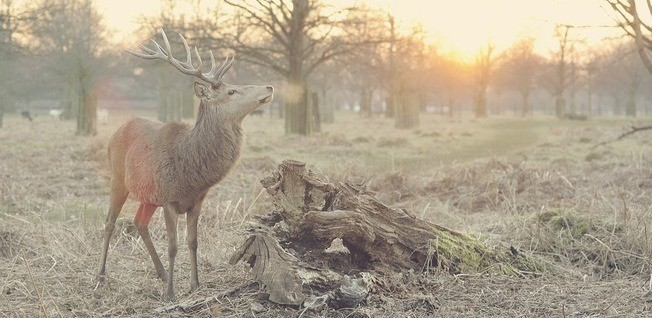 Stag in Wintery Woods