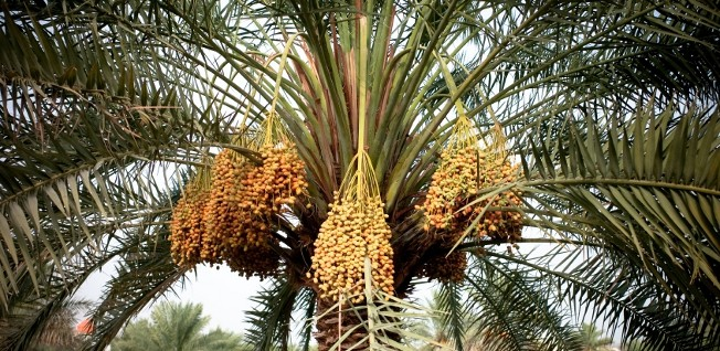 Agriculture — such as growing dates — contributes less than 2% of Oman's GDP today.