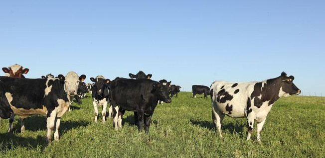 Cattle are a major part of Uruguay's agricultural sector.