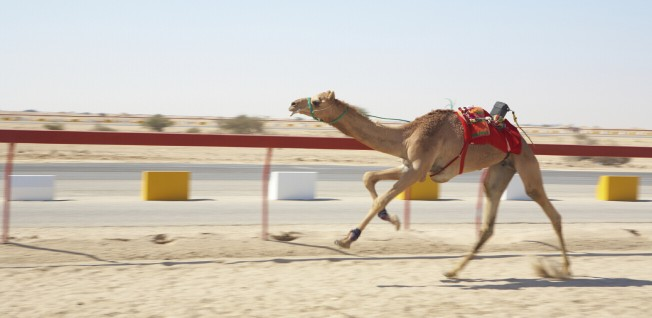 A peculiar sight at camel races in the UAE: robot jockeys.